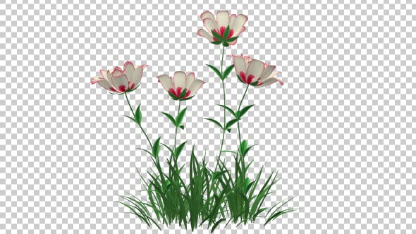 Thumbnail for Red White Growing Flower