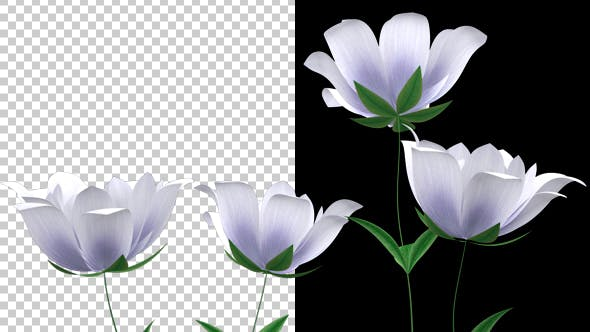 Thumbnail for Growing White Flower