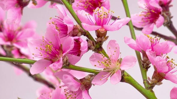 Cover Image for Pink Cherry Tree Flowers Blossoms.