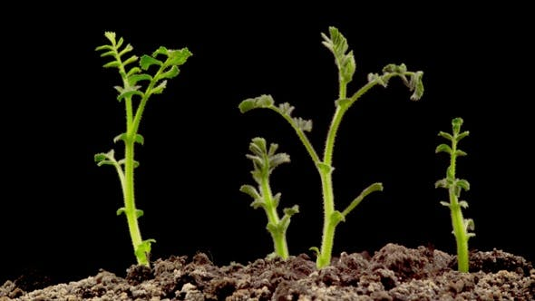 Cover Image for Chickpeas Seeds Germination on Black Background
