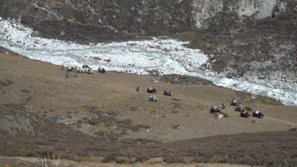 Thumbnail for Caravan Yaks in the Himalayas