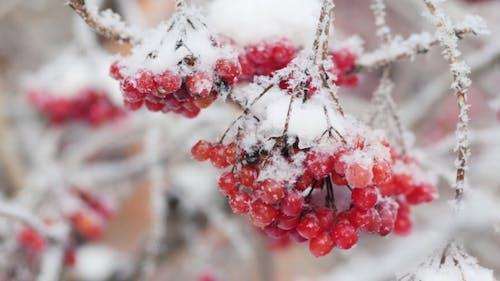 Snow-covered Clusters of Viburnum.