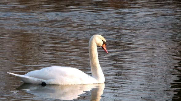 Thumbnail for Swan Swiming on River