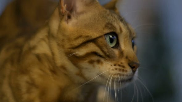 Thumbnail for Muzzle Of A Bengal Cat