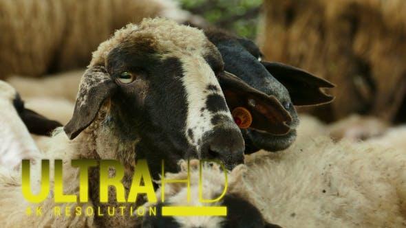 Thumbnail for Sheep 15