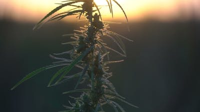 Cannabis at the Sunset Background