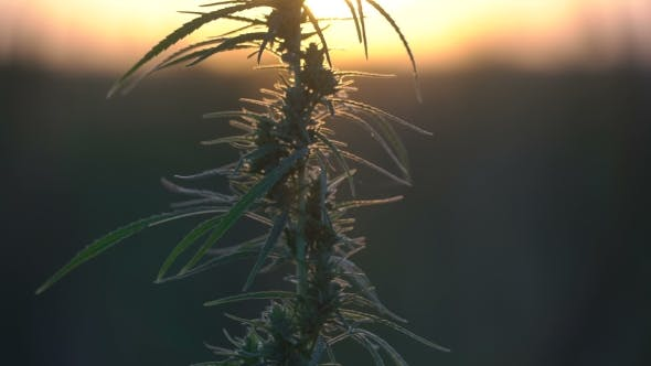 Thumbnail for Cannabis at the Sunset Background