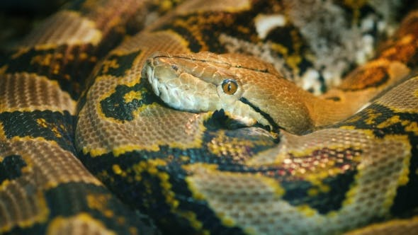 Thumbnail for The Longest Snake in the World - Asia's Giant Reticulated Python. Quietly Asleep