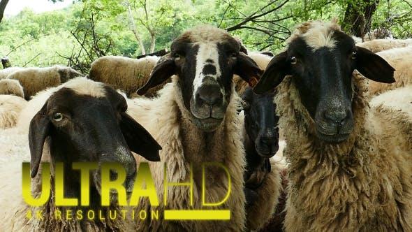 Thumbnail for Sheep 12