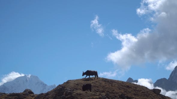 Thumbnail for Yaks in the Himalayas.