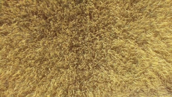 Thumbnail for AERIAL: Low Flight Over Wheat