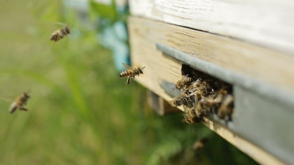Thumbnail for Bees On The Entrance To The Hive During