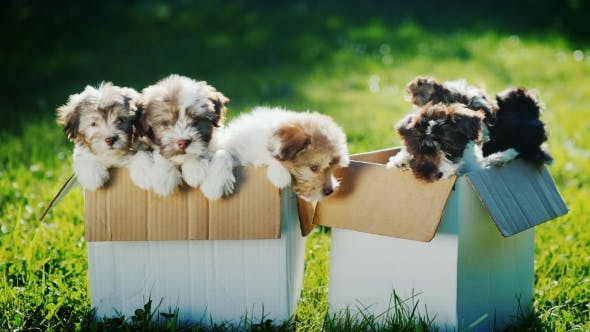 Thumbnail for Many Small Puppies in Two Cardboard Boxes on the Lawn. Two Boxes of Happiness