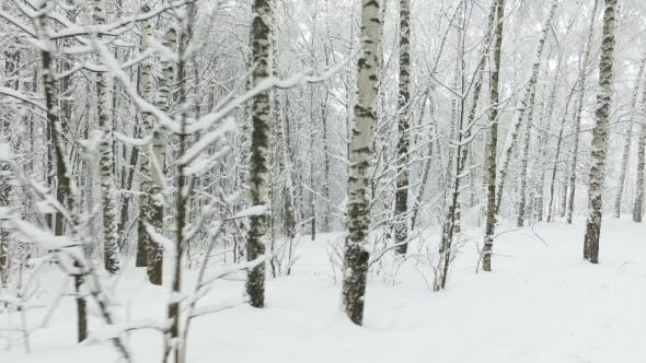 Thumbnail for Winter Birch Forest in the Snow