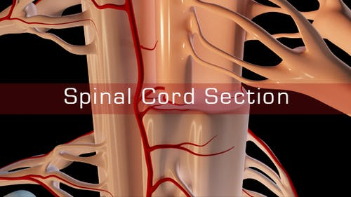 Spinal Cord Section