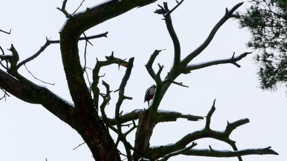 Thumbnail for Woodpecker with Colorful Feathers Sitting on a Tree in Winter Forest