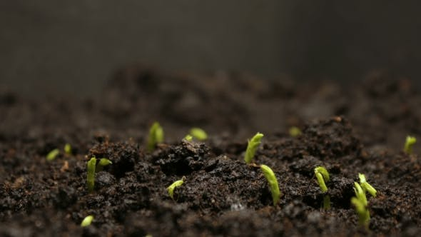 Growing Pea Bean Seeds Agriculture