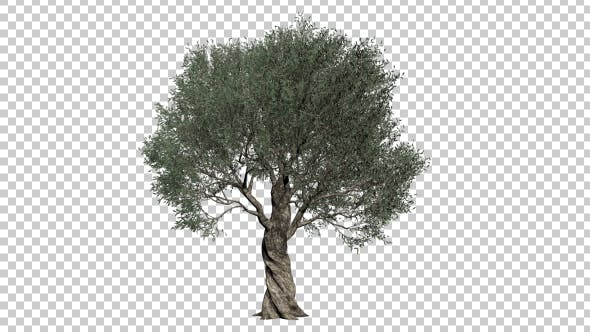 Thumbnail for Olive Tree