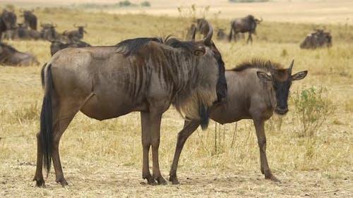 Wildebeest and young wildebeest in Masai Mara