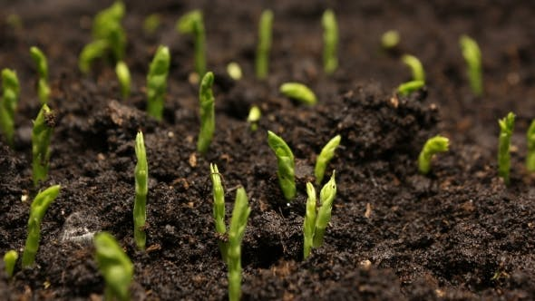 Thumbnail for Growing Pea Bean Seeds Agriculture