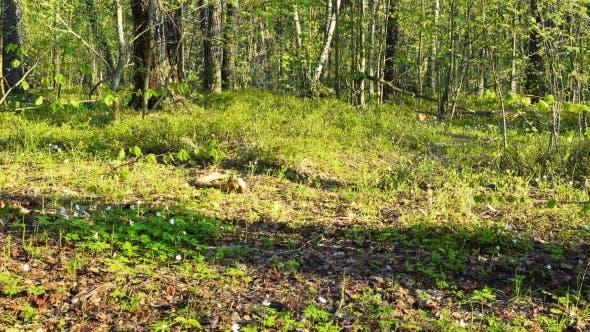 Thumbnail for Schöne Frühlingswald und weiße Blumen, Dolly Shot