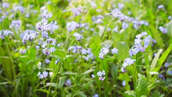 Thumbnail for Schöne blaue Wildblumen