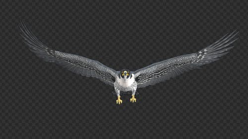 Peregrine Falcon - Flying Loop - Front View