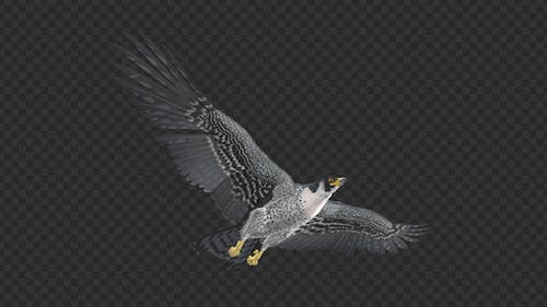Peregrine Falcon - Flying Loop - Down Angle View