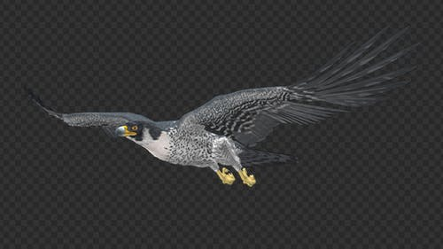 Peregrine Falcon - Flying Loop - Side Angle View