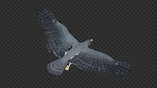 Peregrine Falcon - Flying Loop - Back Angle View