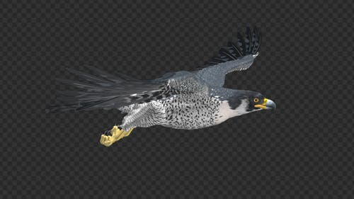 Peregrine Falcon - Flying Loop - Right Side View