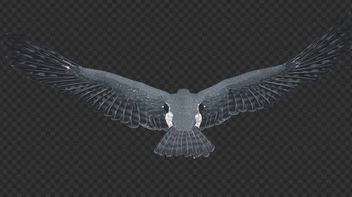 Peregrine Falcon - Flying Loop - Top Back View
