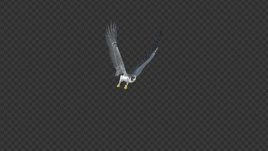 Peregrine Falcon - Flying Round - Transparent Loop