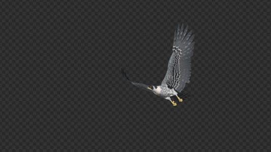 Peregrine Falcon - Flying Transition - 01