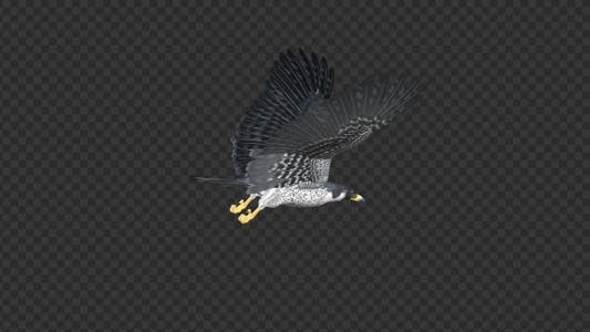 Peregrine Falcon - Flying Transition - 02