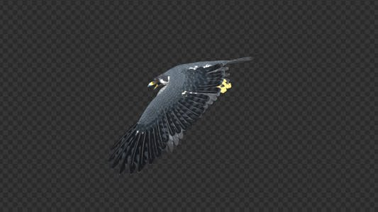 Peregrine Falcon - Flying Transition - 03