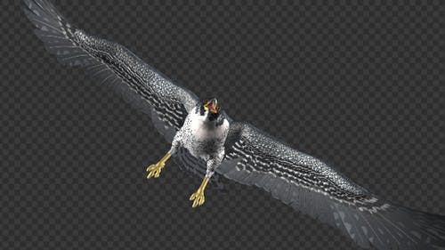 Peregrine Falcon - Flying Transition - 05