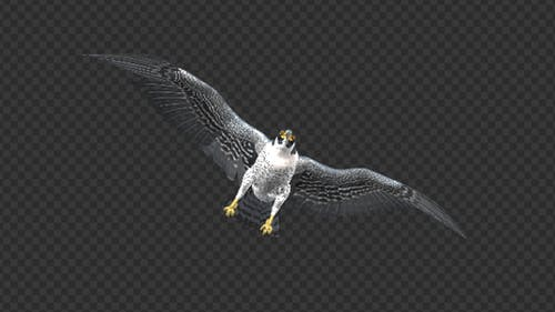 Peregrine Falcon - Flying Transition - 06