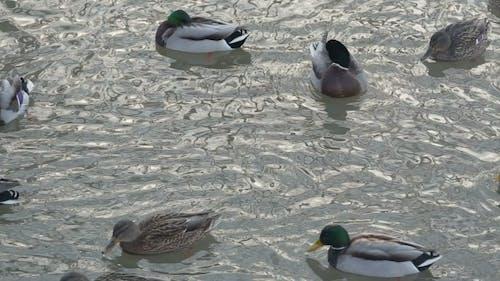 Ducks Breed Mallards Swim in the Lake