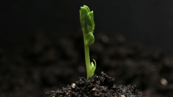 Thumbnail for Germinating Pea Bean Seed Growing in Ground Agriculture Spring Summer