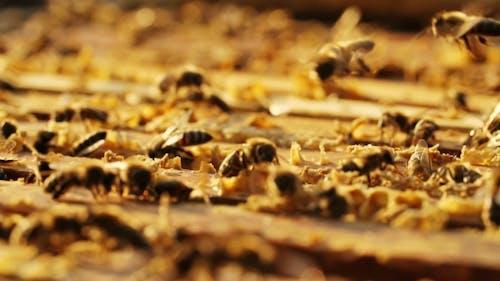 Bienen auf Wabe in einem Bienenstock.