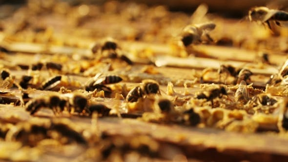 Thumbnail for Bees on Honeycomb in a Beehive.