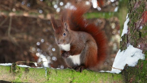 Thumbnail for Red Squirrel on Tree Forest