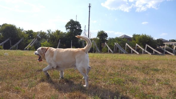 Thumbnail for Follow to Labrador or Golden Retriever Jogging on the Meadow and Wagging Tail