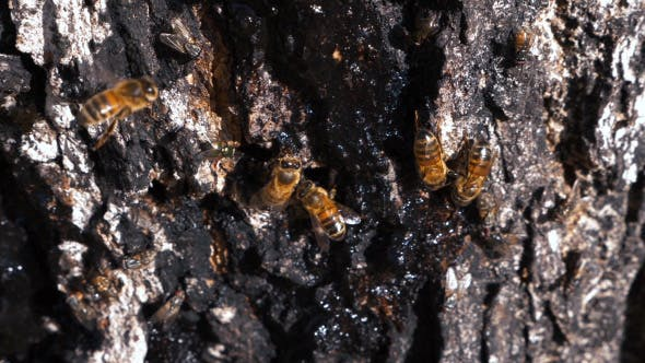 Thumbnail for Honey Bees Eating Syrup on Tree