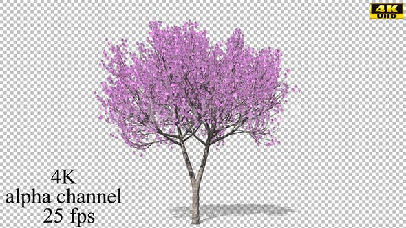 Thumbnail for Cherry blossoming