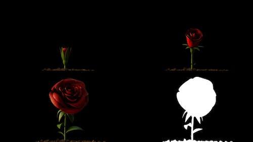 Rose Growing Timelapse