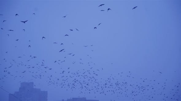 Thumbnail for Crows In Flight. Flock of Birds in the Evening.