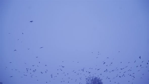 Thumbnail for Birds Fly in Winter Conditions. Black Birds Fly Through Snowflakes. Crows In Flight