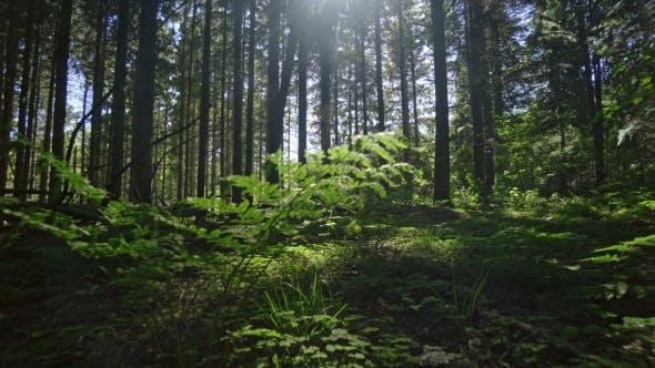 Sunlit Lush Forest